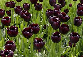 black-tulips